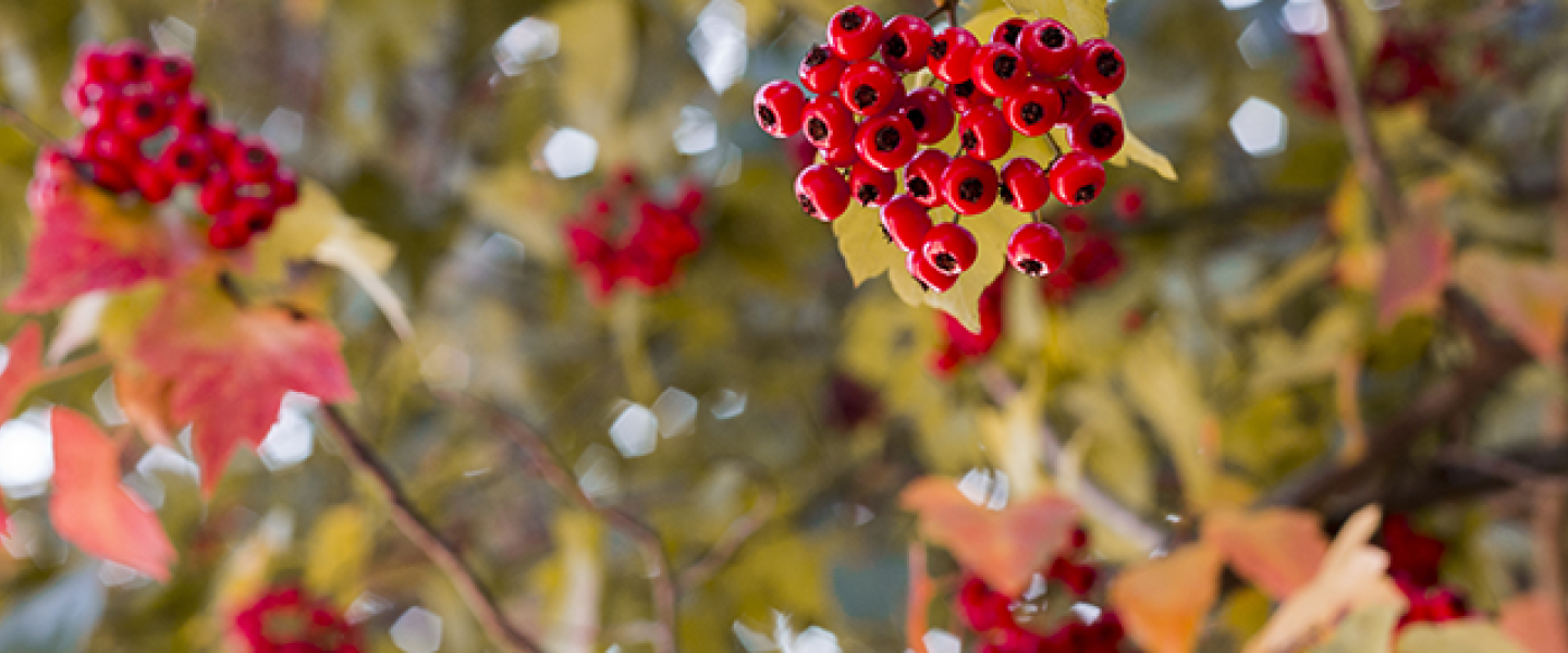 pyracantha berries and branches