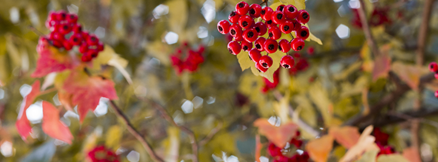 Holly berries and branches